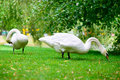Two swans grazing green grass near pond Royalty Free Stock Photography