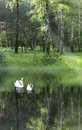 Two swans on lake Royalty Free Stock Image