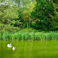 Two swans on the lake Royalty Free Stock Images