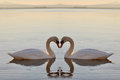 Two swans on lake at sunset at sunset Royalty Free Stock Photography