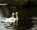 Two swans side by side on a lake Stock Photo