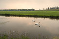 Two swans at sunset swimming on a mirror smooth water surface in a rural landscape dusk Stock Image