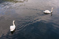 Two swans are swimming on the lake of Hallstatt, Austria. Royalty Free Stock Photo