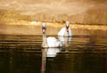 Two swans swimming in pond in the golden light of sunset Royalty Free Stock Photo