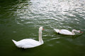 Two swans in the water Royalty Free Stock Image