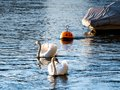 Basel, two swimming Cygnus at the river rhein with a little boat in the background, one Cygnus is in focus Royalty Free Stock Photo