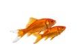 Two swimming goldfish Royalty Free Stock Photo