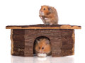 Two syrian hamsters in a wooden house on white background Royalty Free Stock Photography