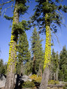 Two tall mossy trees in forest of yosemite national park Stock Images
