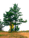 Two tall pine trees Stock Photography
