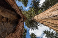 Two tall sequoias and large growing close to each other to the sky in giant forest of sequoia national park in tulare county Stock Photo