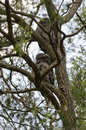 Two tawny frogmouths in tree mopoke resting a they camouflage with the bark of the Royalty Free Stock Image