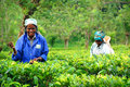 Two Tea Pickers Royalty Free Stock Photo
