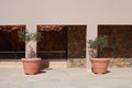 Two terracotta pots with olive trees on terrace of stone mediter Royalty Free Stock Photo