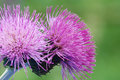 Two thistles close-up Royalty Free Stock Photos