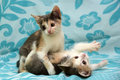 Two three-color kitten playing together Royalty Free Stock Photo