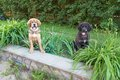 Two tibetan mastiff puppy outdoors puppies horizontal photo Royalty Free Stock Image