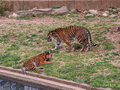 Two Tiger cubs playing Royalty Free Stock Photo
