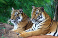 Two tiger looking something Royalty Free Stock Photo