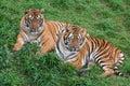 Dos tigre