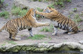 Two tigers  playing Royalty Free Stock Images