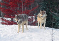 Two timber wolves in a colorful forest Royalty Free Stock Photos