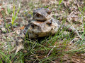 Two Toads 4 Royalty Free Stock Images