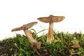 Two toadstools in grass Royalty Free Stock Photo