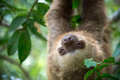 Two-toed sloth Stock Photography
