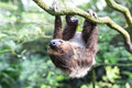 Two toed sloth hanging upside down Royalty Free Stock Image