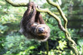 Two toed sloth hanging upside down Stock Photography