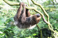 Two toed sloth hanging upside down Stock Photo