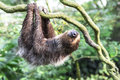 Two toed sloth hanging upside down Stock Images