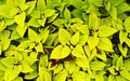 Two tone green Coleus Royalty Free Stock Photos