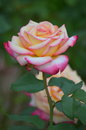 Two tone rose in bloom full Royalty Free Stock Photos