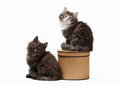 Two tortoise siberian kittens on white background Royalty Free Stock Images
