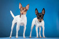 Two toy fox terriers on a blue backgorund Stock Photo