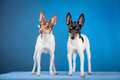 Two toy fox terriers on a blue backgorund Royalty Free Stock Images