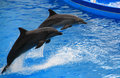 Two trained dolphins in ocean park hong kong Royalty Free Stock Photography