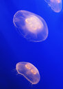 Two Translucent Jellyfish