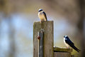 Two tree Swallow birds Royalty Free Stock Image
