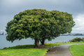 Two trees merge into one on shore at eliot bay in west seattle appear to Royalty Free Stock Photos