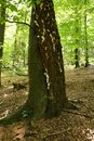 Two Trees Stuck Together Fagus And Betula