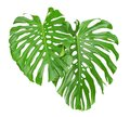 Two tropical leaves isolated on white Stock Photo