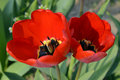 Two tulip flowers a closeup shot of red with stamens petals and pistils red petals with black accents of surrounded Royalty Free Stock Image