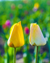 Two tulips in harmony symbolizing at the field love Royalty Free Stock Photography