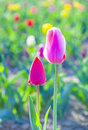 Two tulips in harmony symbolizing at the field love Stock Images