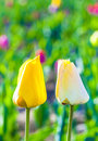 Two tulips in harmony symbolizing at the field love Stock Image