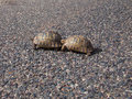 Two turtle cross the road on background of stones Stock Images