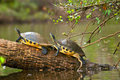 Two turtles are basking on a log in the river under some foliage Royalty Free Stock Photos